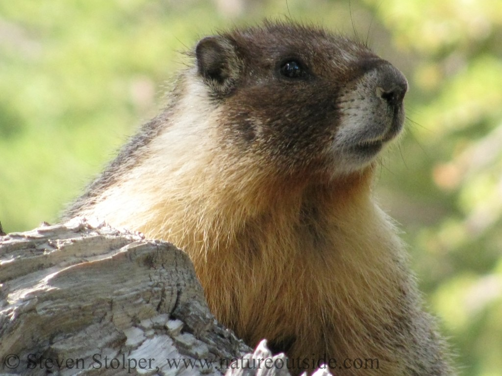 Yellow-bellied Marmot (Marmota flaviventris) in Yosemite National Park