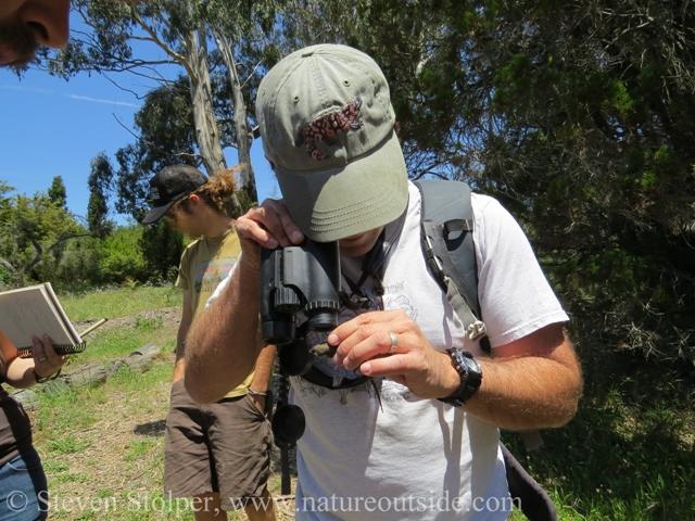 binoculars western fence lizard