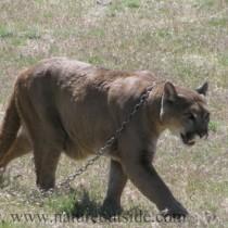 Captive mountain lion (Puma concolor)
