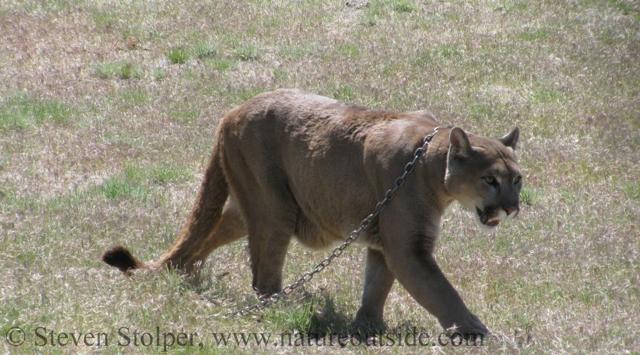 2475f85655f68 Mountain Lion Attacks Six Year Old Boy - NatureOutside