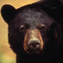 close-up-american-black-bear-face
