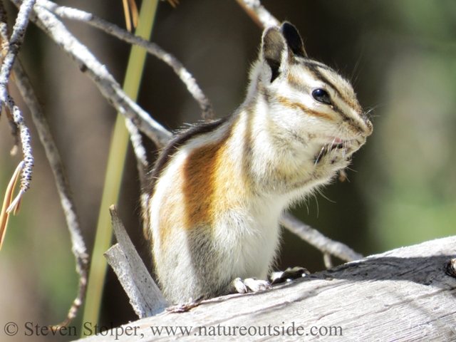 Alpine chipmunk (Tamias alpines)