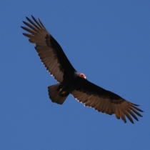 Turkey Vulture in flight. Photo by Lebite, Wikipedia.org