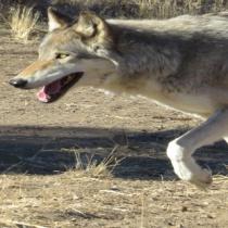 Wolf Part 1 Slider