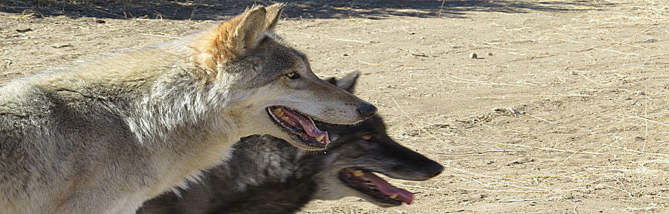 Wolves Teach a Master Class (Part 2)