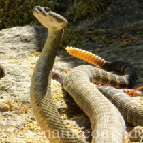 northern pacific rattlesnakes combat dance