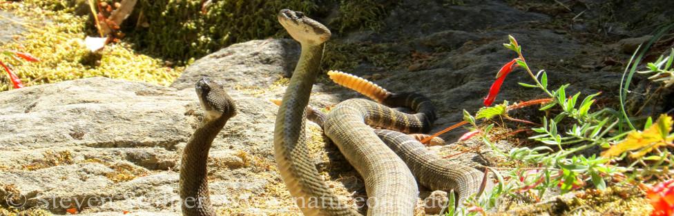 Rattlesnake Dance!