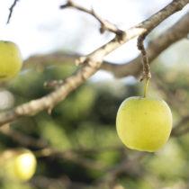 golden apple on tree