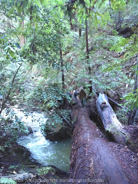 hiker crossing stream on fallen redwood tree