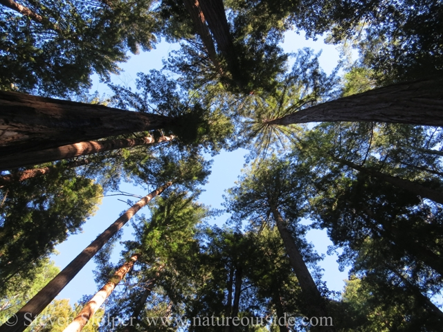 redwood forest canopy