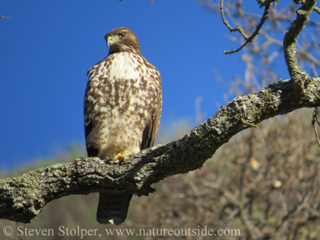 Juvenile Red-tailed hawk sitting in tree