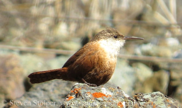 Canyon wren on rocks