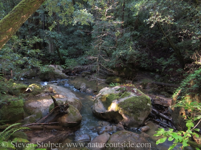 rocks and stream in redwood forest