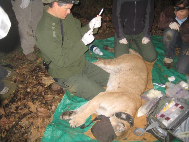 Administering the tranquilizer antidote to mountain lion P-22.