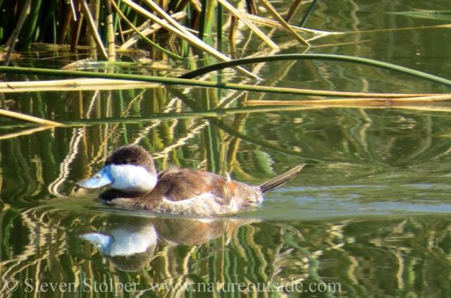 male ruddy duck in saltwater marsh