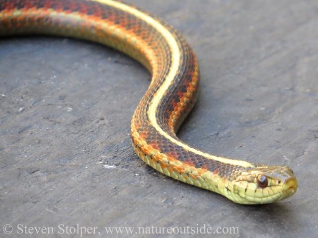Coast Garter Snake Thamnophis elegans terrestris