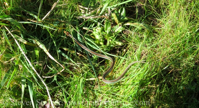 San Francisco Garter Snake Thamnophis sirtalis tetrataenia