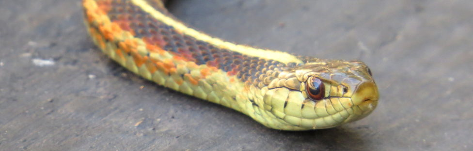 Urban Creatures – The Amazing Garter Snake