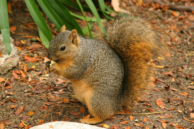 fox squirrel eating