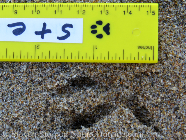 burrowing owl track in sand