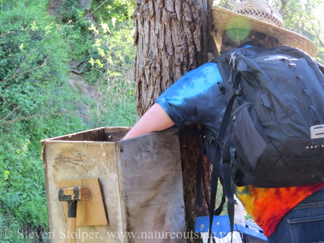 volunteer searching wood duck nest box