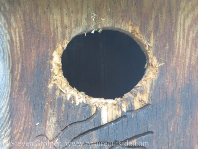 Wood Duck nest box entrance widened by Flicker