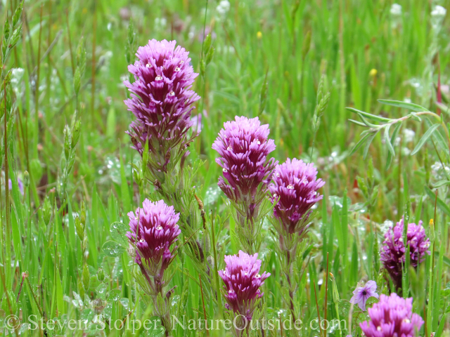 Owl's Clover (Castilleja exserta) in full bloom.