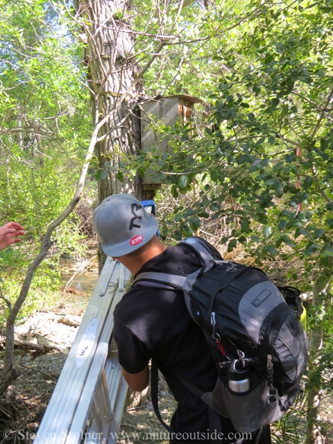 placing ladder below Wood Duck nest box