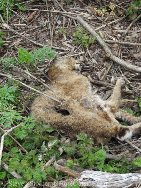 We are startled to find a dead bobcat