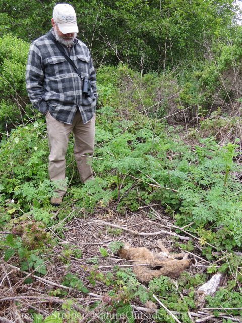 person with dead bobcat