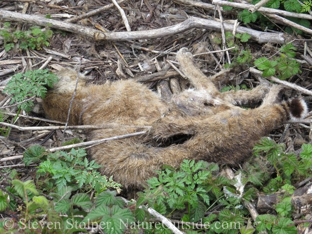 dead bobcat with gash and uric acid