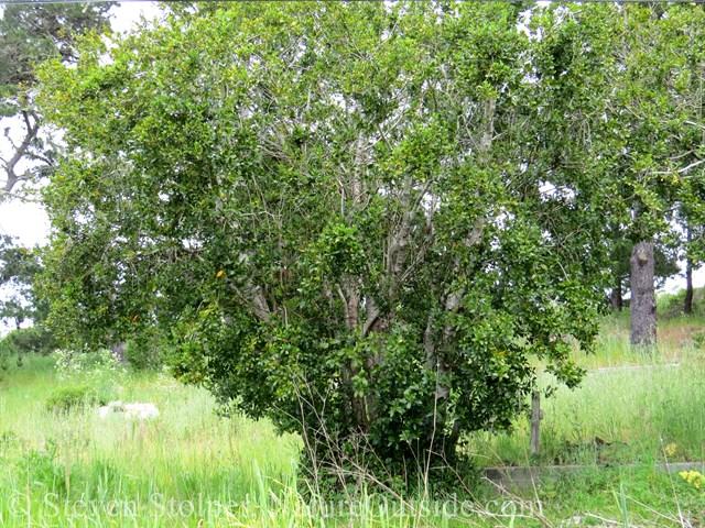 European species of Bay Tree
