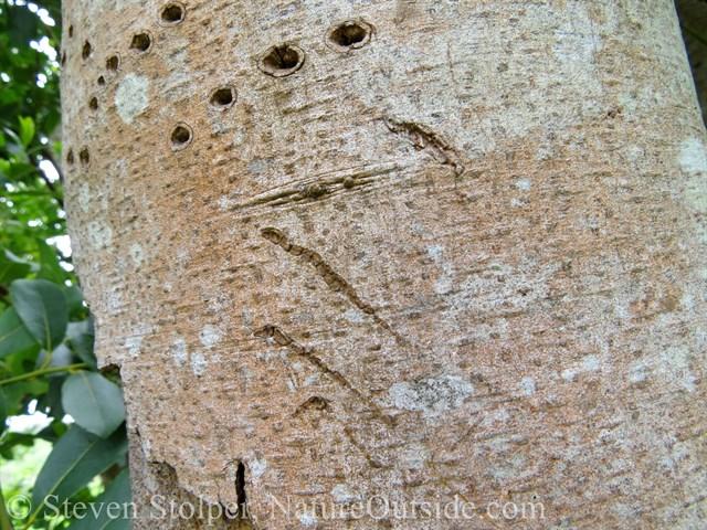 Raccoon claw marks on tree trunk
