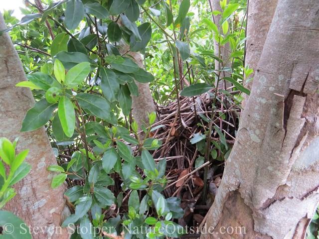 Woodrat's nest in the center of the ring of tree trunks