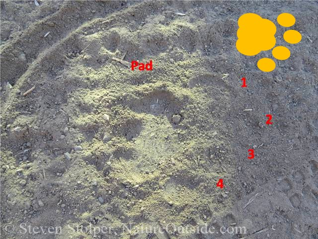 mountain lion track annotated