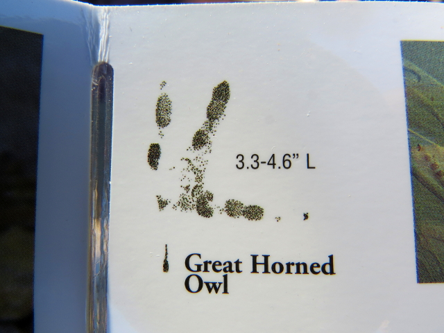 Great Horned Owl Track from laminated card. I believe the track is mislabeled.