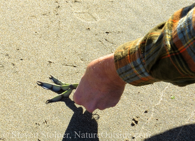 using american coot foot to make tracks