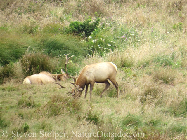 elk lounging on grass