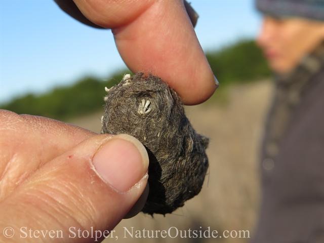 barn owl pellet containing skeleton hand