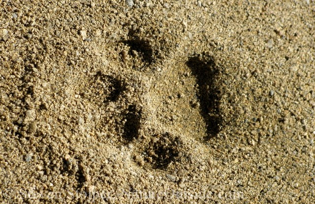 Image result for mountain lion paw print